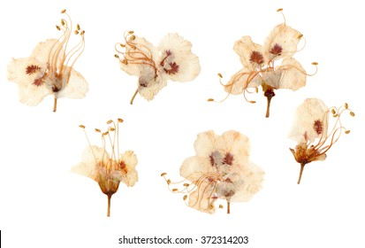 Pressed and dried plum flowers. Isolated on white background.