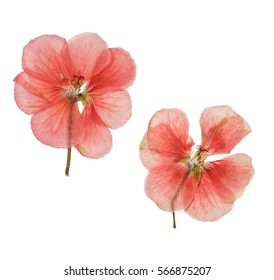 Pressed and dried salmon delicate transparent flowers geranium (pelargonium). Isolated on white background. For use in scrapbooking, floristry (oshibana) or herbarium.