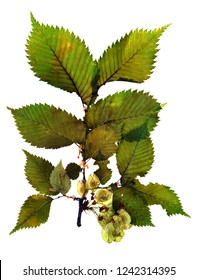 Pressed and dried seeds of field elm (Ulmus minor) on a branch with leaves isolated on white background for use in scrapbooking, floristry (oshibana) or herbarium