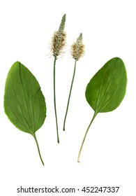 Pressed and dried set of flowers and leaves plantago (psyllium).  Isolated on white background. For use in scrapbooking, floristry (oshibana) or herbarium