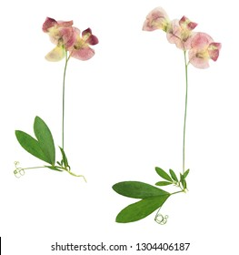 Pressed and dried stalk lathyrus tuberosus with delicate yellow flowers, isolated on white background. For use in scrapbooking, floristry or herbarium.