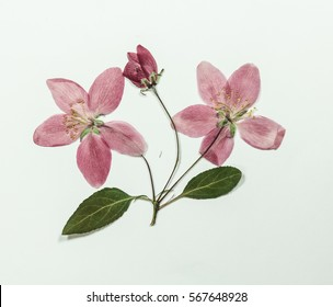 Pressed and dry bright pink flowers  of apple on branch with leaves. Isolated on white background. For use in scrapbooking, pressed floristry (oshibana) or herbarium.