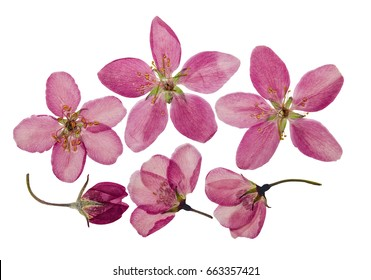 Pressed and dry bright pink flowers  of apple. Isolated on white background. For use in scrapbooking, pressed floristry (oshibana) or herbarium.