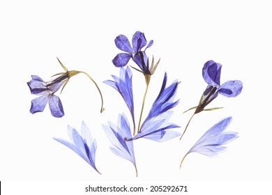 Pressed Flower Of Floret Blue