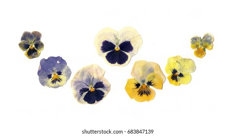 Pressed plants pansies flowers on the white background