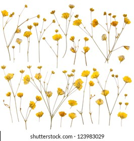 Pressed yellow wildflowers isolated on white background