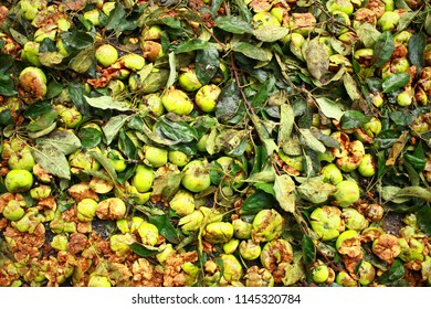 Pressure apples on the asphalt. Concepts The rain of a storm, a fallen tree, trampled apples with branches from the tussles.