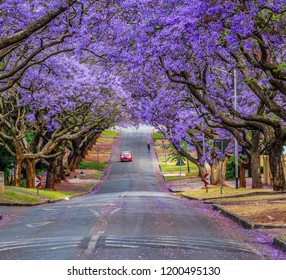 Pretoria Jacaranda street , it's a purple flower tree which blooms in October during Spring time in South Africa