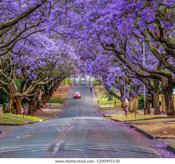 pretoria-jacaranda-street-purple-flower-