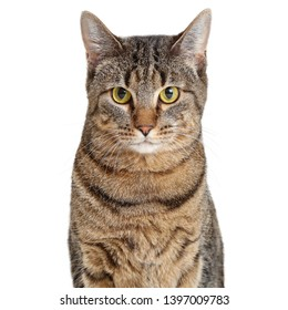 Pretty adult brown and black striped tabby cat looking at camera. Closeup over white.