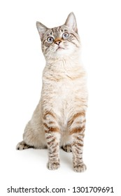 Pretty adult shorthair cat with white fur and brown stripes. Sitting up tall and looking upwards.