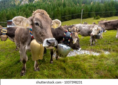 """Pretty alpine cows with bells around their neck after the """"Almabtrieb"""" from the mountain pasture back to the village in autumn, Alps, Germany"""