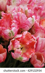 Pretty Apricot Parrot, pink tulips with frilled edges, pink, green and white pattern