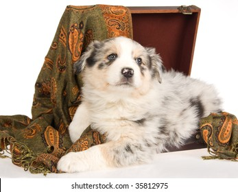 Pretty Australian Shepherd pup lying in brown suitcase, on white background