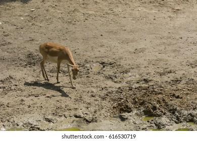 Pretty baby deer looking for food, in a summer day at the zoo, muddy place with dirty water