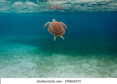 Pretty back of a green sea Chelonia mydas, turtle,  swimming along coral reef sea bed in Caribbean