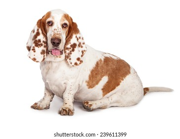 A pretty Basset Hound dog with spotted ears