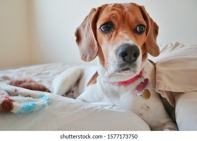 Pretty beagle staring on white bed