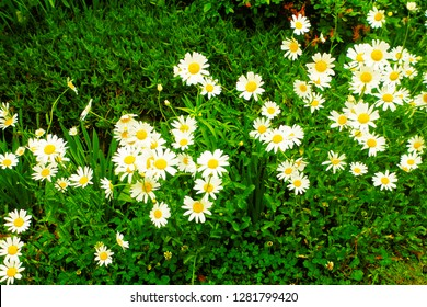Pretty Becky Shasta Daisy (Chrysanthemum x superbum Becky) or Oxeye daisy (Leucanthemum vulgare) is beautiful classic white flowering plant with yellow eyes use as ornamental plant in the garden.
