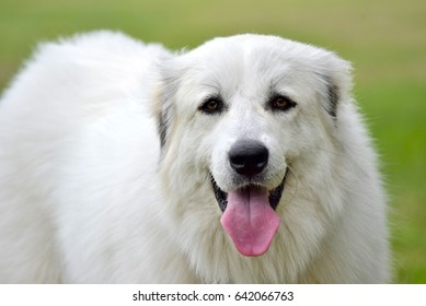Pretty big white dog