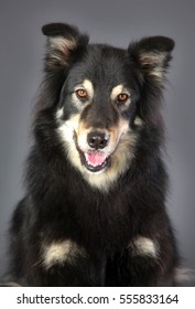 Pretty black and brown mixed dog portrait in studio with grey background