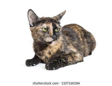 Pretty black and tan color tortoiseshell cat lying down on white and looking to side with an angry expression