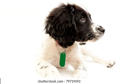 Pretty black and white puppy isolated on white background, wearing microchip tag on collar to keep her safe.