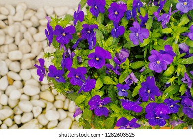 Pretty blomming violet viola flower (Viola odorata) ,Purple garden pansy (Viola tricolor) with white rock floor background in garden is small low-growing flowering plant use as ornamental plant.
