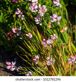 Pretty  blooms of genus Ixia  corn lilies or wand flowers cormous plants native to South Africa from  Iridaceae family and Ixioideae subfamily in early spring splendor add colorful charm to a garden.