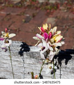Pretty blooms of the  genus Ixia  corn lilies or wand flowers cormous plants native to South Africa from the Iridaceae family and Ixioideae subfamily in early spring splendor add charm to the garden.