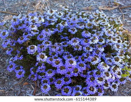 Pretty blue flowers scaevola aemula small stock photo edit now pretty blue flowers of scaevola aemula a small shrub in the family goodeniaceae native to mightylinksfo