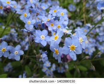 Pretty blue forget-me-not flowers in bloom 2019