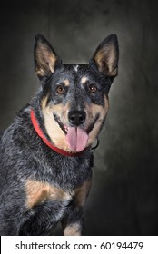 A pretty Blue Heeler/Australian Cattle dog - head and shoulders portrait.