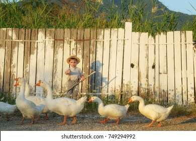 Pretty boy in the straw hat standing in front of fence. The boy painted a wooden fence with white paint. White geese.