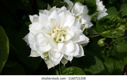 Pretty bright white clematis flower with greenery in the background
