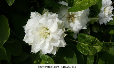 Pretty bright white clematis flower with greenery in the background.