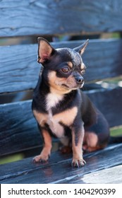 Pretty brown chihuahua dog standing and facing the camera