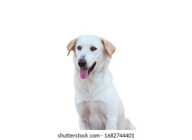 A pretty brown dog isolation on white background.