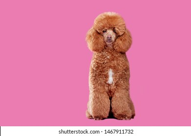 Pretty brown poodle after grooming cut at the pink background