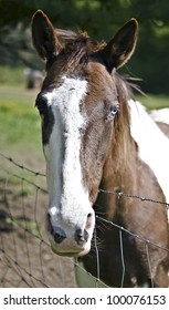 A pretty brown and white horse with a blue eye.