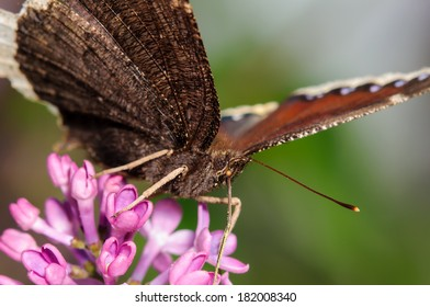 Pretty Butterfly on a Purple Lilac Bush