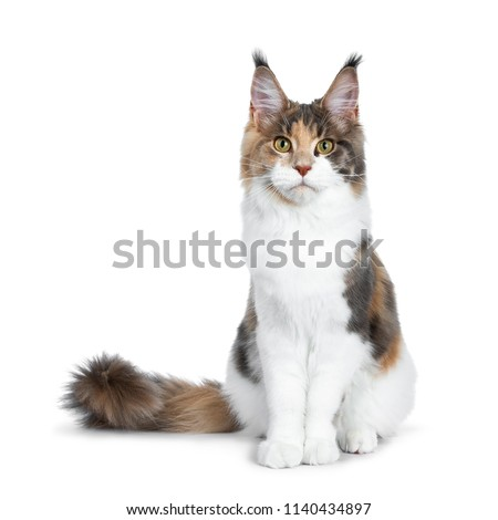 0cd4a1c2a8 Pretty Calico Maine Coon cat girl sitting straight up with tail beside  body
