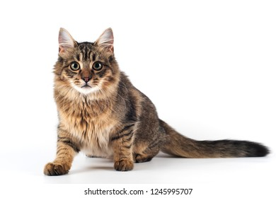Pretty cat mixed breed on white background sitting hunting