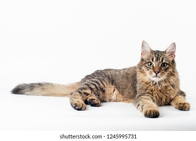 Pretty cat mixed breed on white background lying full body
