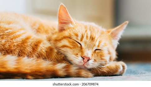 Pretty Cat Sleep. Peaceful Orange Red Tabby Male Kitten Curled Up Sleeping