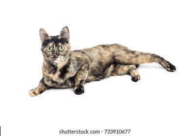 Pretty cat with tortie coat lying down on white. Looking into camera