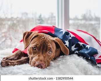 Pretty, charming puppy of chocolate color and American Flag. Close-up. Concept of care pets