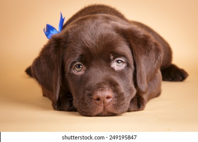 500 Puppy Dog Eyes Pictures Royalty Free Images Stock Photos