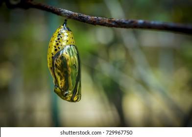 Pretty chrysalis on a branch