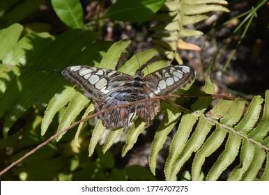 Pretty clipper butterfly sitting on a green fern.